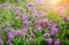 In 54401, Jamison Hartman and Shaun Pacheco Learned About Where To Plant Verbena