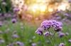 In Santa Clara, CA, Ryleigh Steele and Rashad Stark Learned About Verbena Purple Flowers